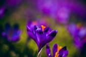 Crocuses in the Valley Chocholowska. — Stock Photo