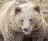European brown bear (Ursus arctos). — Stock Photo