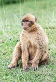 Barbary macaque (Macaca sylvanus). — Stock Photo