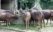 Bos priigenius taurus, Ankole-Watusi cattle eating in a zoo. — Stock Photo