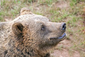 European brown bear head (Ursus arctos). — Stock Photo