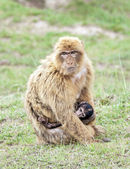 Barbary macaque with a puppy (Macaca sylvanus). — Stock Photo