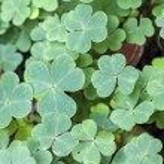 Clover (Trifolium) background. — Stock Photo #74420953