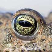 Natterjack toad eye (Epidalea calamita). — Stock Photo
