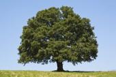 Giant Tree — Stock Photo