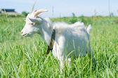 White goat grazes in a meadow — Stock fotografie