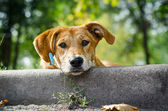 Stray dog with sad eyes — Stock Photo