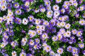 Cantero con flores violetas — Foto de Stock