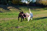 Labrador dog walks in the park — Stock Photo