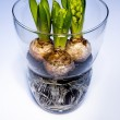 Hyacinth bulbs in vase of glass — Stock Photo #58435765