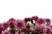 Border of pink fall mum flowers on white — Stock Photo
