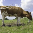 Red Holstein cow, standing in meadow — Stock Photo #69221833