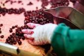 Sour cherries in processing machines — Stock Photo