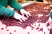 Sour cherries in processing machines — Fotografia Stock