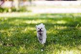 Bichon in the park — Stock Photo