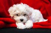 Bichon frise puppy — Stock Photo