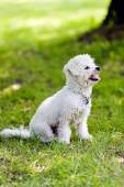 Bichon in the park — Stock Photo