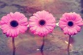Three pink flowers — Stock Photo