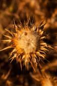 Flower of wild artichoke — Stock Photo