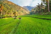 Rice fields on terraced of Philippines . Rice fields prepare the — Stock Photo