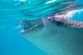 Underwater shoot of a gigantic whale sharks ( Rhincodon typus) — Stock Photo