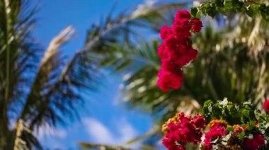 Beautiful red flowers swaying in the breeze. Blue sky and palm trees in the background. Summer vacation concept. — Stock Video