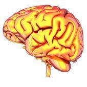 Hjärnan isolerad på vit — Stockfoto