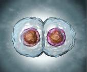 Mitosis. Stage two  — Stock Photo