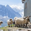 Ewes near barn in mountains — Stock Photo #52860247