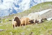 Herd of sheep on Alpine meadow — Stock Photo