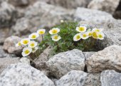 Flowers of Alpine Buttercup — Stock Photo