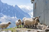 Ewes near barn in mountains — Foto Stock