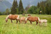 Troupeau de chevaux paissant — Photo