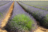 Blooming field of lavender — Stock Photo
