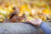 Courageous squirrel studies man's hand — Stock Photo