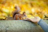 Man feeds squirrel — Stock Photo