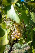 Rtveli - grapes harvesting tradition in Georgia — Stock Photo
