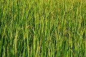 Rice field texture background — Foto de Stock