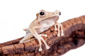 Borneo eared frog on white background — Stock Photo