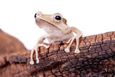Borneo eared frog on white background — ストック写真