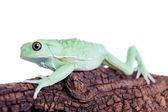 Waxy Monkey Leaf Frog on white background — Stock Photo