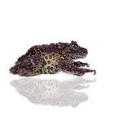 Vietnamese Mossy Frog isolated on white — Fotografia Stock