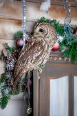 Tawny or Brown Owl on window. Christmas — Stock Photo