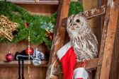 Tawny or Brown Owl, Strix aluco, — Stock Photo