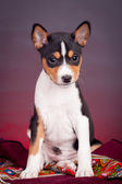 Basenji puppy on a red background — Stock Photo