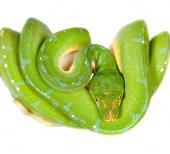 Green tree python, chondros isolated on  white — Stock Photo
