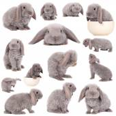 Grey lop-eared rabbit rex breed — Stock Photo