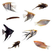 Group of decorative fishes on white — Stock Photo