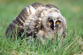 A Natural, Wild Long-eared Owlet (Asio otus) portrait. Showing display posture. Taken in the Angus Glens, Scotland, UK. — Stock Photo
