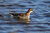 Male Red-necked Phalarope (Phalaropus lobatus). Swimming on blue sky reflected water. Feeding on insects on the waters edge. Image taken in Scotland. — Stock Photo
